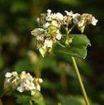 Buckwheat_Flower