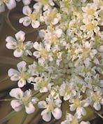 carota_flowers