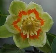 tulippoplar