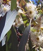 eucalyptus2_147_175_75_c1